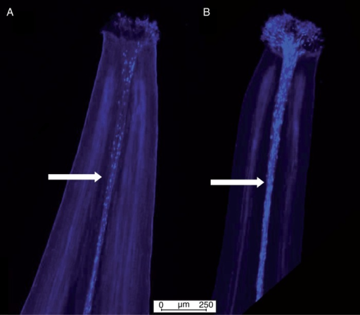 Epifluorescence micrographs showing pollen viability of female-sterile pollen on a hermaphrodite stigma (A) and hermaphrodite pollen on a female-sterile stigma (B). Pollen tubes are clearly visible in both images in fluorescent blue. Pollen tubes are indicated by arrows.