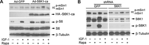 Rapamycin-induced dephosphorylation of mSin1 is not by inhibiting S6K1Rh30 cells, infected with recombinant adenoviruses expressing GFP (Ad-GFP) and HA-tagged rapamycin-resistant and constitutively active S6K1 (Ad-S6K1-ca) (A) or with lentiviral shRNAs to GFP and S6K1 (B) respectively, were serum-starved for 24 h. The cells were then pretreated with or without rapamycin (Rapa, 100 ng/ml) for 2 h, and further stimulated with or without IGF-1 (10 ng/ml) for 10 h, followed by Western blotting with indicated antibodies.