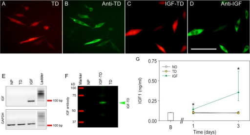 Detection of tdTomato (TD) and IGF1-TD fusion protein in human neuronal progenitor cells (hNP).(A) Expression of TD protein in transfected hNPs by their red fluorescence. (B) TD protein can also be detected by using immunohistochemistry (FITC, green). (C) Expression of IGF-TD fusion protein in hNPs by their red fluorescence. (D) Detection the IGF-1 moiety of the IGF-TD fusion protein in transfected cells by immunostaining (FITC, green). (E) Expression of IGF-1 component of the IGF-TD mRNA in hNPIGF-TD cells by qRT-PCR; IGF-1 mRNA is undetectable in untransfected hNP and hNPTD cells. (F) Western blot analysis of IGF-1 component of the IGF-TD protein in hNPIGF-TD cell lysates confirms the expected molecular weight of approximately 60 kD. IGF-1 was not detected in untransfected hNP and hNPTD cells. (G) IGF-1 levels are higher in the medium of cells transfected with the IGF-TD fusion protein (red triangles). Data are presented as mean ± SE for the day 0 wells (B; blank wells). Symbols correspond to the fitted means ± the 95% confidence limits of the measurements conducted in conditioned medium from the difference hNPs (open symbols; empty vector, yellow symbols; TD-transfected cells, green symbols; IGF-TD—transfected cells). Analysis was conducted by fitting a two way linear model for treatments and time points on the inverse of the data. Multiple comparisons were conducted on the transformed scale by the Tukey test. Asterisks indicate statistically significant differences versus all groups at the same time point. Abbreviations: hNP, neuronal progenitor cells; TD, tdTomato; IGF-TD, IGF-1-tdTomato. Scale bar in A—D: 50 μm.
