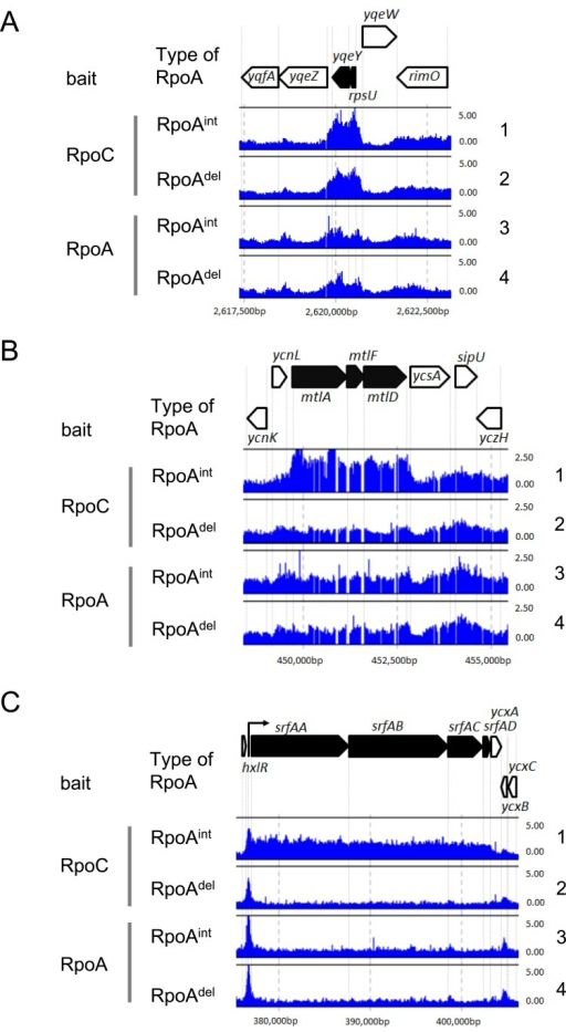RNAP binding effects following the replacement of RpoAint with RpoAdel in the RNAP complex.(A) Typical RNAP binding profiles obtained from rpoAint- and rpoAdel-expressing cells; rpsU and yqeY are indicated, with the RNAP binding signal of each probe mapped to the corresponding position in the B. subtilis chromosome. The binding intensity (shown by vertical bars) was determined as the relative ratio of the signal intensities obtained for the hybridization of labeled DNA fragments prepared from the affinity purification with RpoC or RpoA (ChAP DNA) versus whole cell extract (control DNA) fractions in each experiment. The RNAP binding intensities determined by affinity purification with RpoC as bait are shown in lanes 1 and 2. The RNAP binding intensities determined by affinity purification with RpoA as bait are shown in lanes 3 and 4. The RNAP binding intensities in the rpoAint-expressing cells are shown in lanes 1 (SMS08) and 3 (SMS18), and those in rpoAdel-expressing cells are indicated in lanes 2 (SMS09) and 4 (SMS19). The arrangement of genes in the presented chromosomal region is indicated by thick arrows at the top of the figure. The RNAP binding profiles obtained from one (Exp. 1) of duplicate experiments are shown as representative. (B) Binding to the mtl operon is shown as a typical example of the reduced RNAP binding observed in rpoAdel-expressing cells. (C) Binding to the srf operon is shown as an example of the unique RNAP binding profile observed in rpoAdel-expressing cells, in which reductions were seen in the protein coding regions but not in the promoter proximal regions.