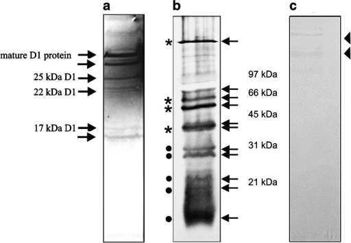 Western blot analysis of RNC–D1 complexes and RNC–cytochrome b6 complexes. a D1 nascent chain was isolated and a homo-bifunctional cross-linker (BMH) was added. The samples were immunoprecipitated with antibody against D1 protein, solubilized with SDS, and subjected to further immunoprecipitation with anti-cpSecY. The D1 elongation intermediates as well as the mature D1 are indicated by arrows. b Western blot analysis of the cross-linking (BMH) of isolated RNCs followed by immunoprecipitation with antiserum directed against the N-terminal part of cytochrome b6. Gel bands subjected to PMF are indicated by arrows. The bands marked with filled stars contain cytochrome b6 intermediates. c Western blot analysis of the cross-linking of isolated RNC-cytochrome b6 complexes immunoprecipitated with antibody directed against the N-terminal part of cytochrome b6, solubilized with SDS and subjected to further immunoprecipitation with anti-cpSecY. A very weak signal marked by triangle was observed. MS analysis of corresponding gel bands from SDS-PAGE was performed