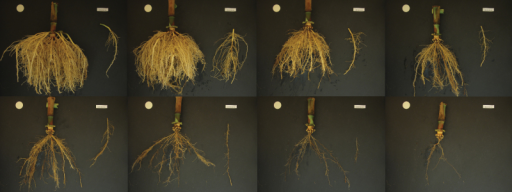 A mature root crown of maize is dissected by excising whorls of nodal roots from the outside to expose the next layer and imaging with a digital camera. In this series of images, whorls are excised from outer to inner, from left to right, and top to bottom. Top left depicts the outermost brace roots at node position 7, while crown roots at node position 1 are on the bottom, second from right, and the seminal root system, not measured, is at bottom right. Root phenes were measured for every nodal whorl.
