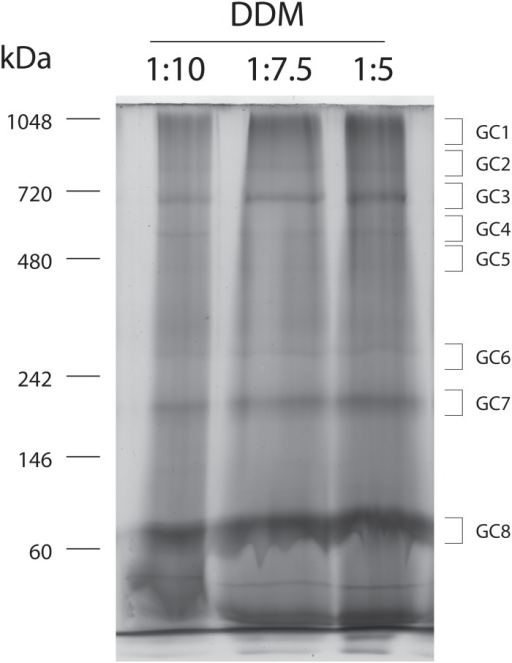 Separation of mitochondrial protein complexes from Majorera breed by BN-PAGE.Proteins were solubilized with the detergent DDM at a protein ratio of 1:10; 1:7.5 and 1:5 (protein: detergent, w/w). Gel stained with Coomassie Blue Colloidal. Gel bands were excised and analysed by nano-LC-MS/MS.