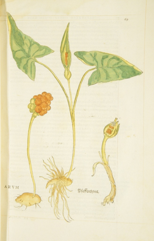 <p>Hand-colored woodcut of the arum plant, showing the leaves, spathe, flowers, and roots.</p>