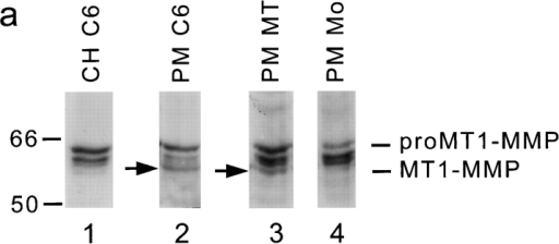 MT1-MMP Western blot and remodeling of the CNS  inhibitory substrate. (a) Western blots of cell lysates and salt-washed plasma membranes using a monoclonal antibody against  MT1-MMP. The protein fractions were electrophoresed on a  10% SDS polyacrylamide gel, blotted onto a nitrocellulose membrane, and probed with MT1-MMP antibody. Bound antibody  was visualized by peroxidase-conjugated second antibody and  chemiluminescence. Lane 1, C6 cell homogenate (CH C6); lane  2, C6 cell plasma membranes (PM C6); lane 3, plasma membranes of MT1-MMP–transfected fibroblasts (PM MT); lane 4,  plasma membranes of mock-transfected fibroblasts (PM Mo).  Molecular mass markers are indicated at the left side, proMT1-MMP and processed MT1-MMP (arrows) on the right. Two nonspecific bands are seen between the pro- and mature MT1-MMP  forms since they are visualized also in the absence of primary antibody. (b) Culture dishes coated with inhibitory CNS membrane  proteins were pretreated in different ways and their inhibitory  activity assayed for 3T3 fibroblast spreading. Treatment with C6  homogenate (50 μg) or plasma membranes (30 μg) of C6 glioma  cells or MT1-MMP–transfected fibroblasts reduced the inhibitory  property significantly, whereas plasma membranes of mock-transfected fibroblasts did not. Pretreatment of the CNS substrate with gelatinase A/MMP-2 (0.1, 1, and 10 μM) did not influence its nonpermissive substrate property. Values are means ±  SEM of three experiments performed in triplicate. Significance  with the two-tailed Student's t test: P < 0.01 (**).