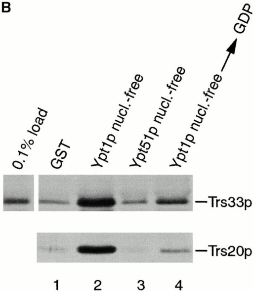 TRAPP subunits bind preferentially to the nucleotide-free form of Ypt1p. (A) A yeast lysate was incubated with agarose beads containing either GST (lane 1) or GST-Ypt1p (lanes 2–4) as described in the Materials and Methods. Before the incubation, Ypt1p was either stripped of nucleotide (nucleotide-free, lane 2) or loaded with GDP (lane 3) or GTPγS (lane 4). The beads were washed and the bound proteins were eluted by boiling in SDS-PAGE sample buffer. The eluate was then fractionated on a SDS–12.5% polyacrylamide gel, and Western blot analysis was performed by the enhanced chemiluminescence method using anti-Trs33p antibody at 1:2,500 dilution (top) or anti-Trs20p antibody at 1:1,000 dilution (bottom). (B) A yeast lysate was incubated with agarose beads containing either GST (lane 1), GST-Ypt1p (lanes 2 and 4), or GST-Ypt51p (lane 3). Before the incubation, Ypt1p and Ypt51p were stripped of nucleotide (nucleotide-free, lanes 2 and 3) or stripped of nucleotide and allowed to rebind GDP (lane 4). The beads were processed as above. The amount of Trs33p present in 0.1% of the lysate that was incubated with the beads is shown.