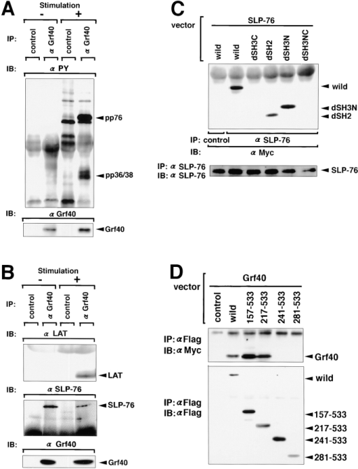 Coimmunoprecipitation of  SLP-76 and LAT with Grf40 in Jurkat cells.  Jurkat cells were stimulated with (+) or  without (−) OKT3 for 3 min, and their lysates were immunoprecipitated (IP) with  anti-Grf40 or preimmune (control) serum.  The immunoprecipitates were separated by  SDS-PAGE and then immunoblotted (IB)  with antiphosphotyrosine mAbs (A), and  with anti–SLP-76 antiserum or anti-LAT  Ab (B). COS7 cells were transiently transfected with 10 μg expression plasmids for  Myc-tagged wild-type Grf40 (wild) or four  Myc-tagged Grf40 mutants (dSH3C, dSH2,  dSH3N, and dSH3NC), together with 10  μg expression plasmids for SLP-76 by electroporation, and then incubated for 48 h.  Their lysates were immunoprecipitated with  anti–SLP-76 or preimmune (control) serum, and then immunoblotted with anti-Myc mAb or anti–SLP-76 antiserum (C).  COS7 cells were transiently transfected with  10 μg expression plasmids for Flag-tagged  wild-type SLP-76 (wild), four Flag-tagged  SLP-76 mutants (157-533, 217-533, 241-533, and 281-533), or an empty vector  (control), together with 10 μg expression  plasmids for Myc-tagged Grf40 by electroporation, and then incubated for 48 h.  Their lysates were immunoprecipitated with  anti-Flag mAb, and then immunoblotted  with anti-Myc or anti-Flag mAb (D).