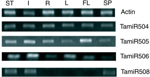 Semi-quantitative RT-PCR analyses of novel miRNAs in wheat. Relative expression of miRNAs in stems, internodes below spikes, leaves, flag leaves, roots and spikes was analyzed by semi-quantitative RT-PCR. A wheat actin gene was selected to normalize the amount of templates added in the PCR reactions. ST, stems; I, internodes below spikes; R, roots; L, leaves; FL, flag leaves; SP, spikes.