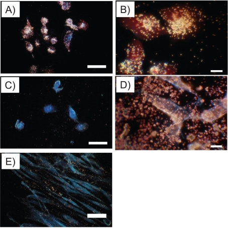 Darkfield images of nanoshells bound to cells. A) EphrinAl-nanoshells bound to the PC-3 cells with high expression of EphA2 receptor. B) shows higher magnification of A). C) PEG-nanoshells had minimal binding whereas D) bare nanoshells bound indiscriminately to PC-3 cells and the substrate. E) EphrinAl-nanoshells had minimal binding to HDF. Scale bars in A), C) and E) = 50 μm and B) and D) = 10 μm.