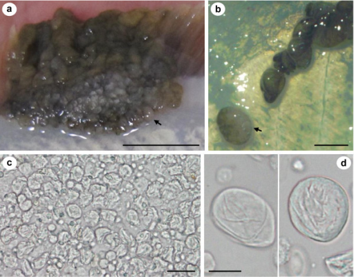 Sac-like structures at the extremities of an epidermal pseudotumour on a live specimen of Pseudopleuronectes obscurus and X-cells released from the sacs in tissue culture plates. a & b) Appearance of a fresh epidermal pseudotumour showing sac-like structures that can be separated from the main part of the pseudotumour intact, black arrows indicate the same sac attached and detached in a & b respectively. c) X-cells and host tissue debris immediately after being released from a sac-like structure. d) X-cells maintained in plastic tissue culture plates containing seawater, 24 hrs after being released from a sac-like structure. Scale bars a = 10 mm, b = 2 mm, c = 20 μm, d = 10 μm.