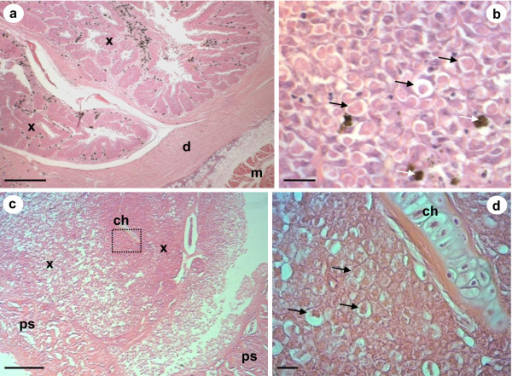 Haematoxylin and eosin stained histological sections of X-cell pseudotumours. a) Low magnification of a section through an epidermal pseudotumour in P. obscurus. Large numbers of X-cells (x) are in folds of infected host tissues. The dermis (d) and the underlying muscle (m) remain uninfected. b) High power magnification of X-cells in P. obscurus have a characteristic polygonal appearance with a lightly staining large nucleus (black arrows), melanomacrophages are present in high numbers (white arrows). c) Low magnification of a section through a pseudobranchial pseudotumour in juvenile Icelandic cod. X-cell masses (x) form adjacent to pseudobranchial tissues (ps) but are also found surrounding pseudobranchial cartilage containing chondrocytes (ch) deeper into the pseudotumour. d) High power magnification of the boxed section in Figure 3c; numerous X-cells (black arrows) form a distinctive mass that forms the bulk of the pseudotumour, pseudobranchial cartilage containing chondrocytes (ch) is enclosed by X-cells. Scale bars a & c = 400 μm, b & d = 20 μm.