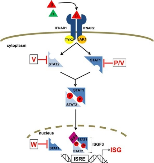 Illustration Of The Type I IFN Signaling Pathway And It