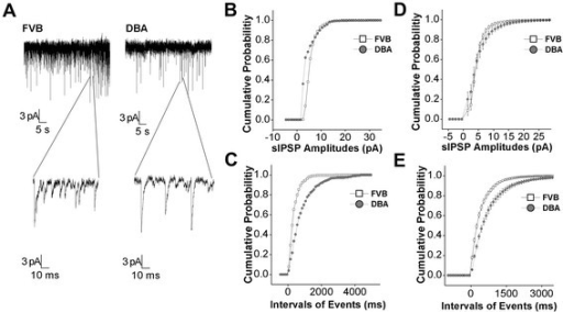 GABAergic synaptic transmission is low in the amygdala neurons of DBA mice. Spontaneous GABAergic inhibitory postsynaptic currents (IPSC) were recorded by whole-cell clamp at the amygdala neurons of brain slices from DBA/2 anxiety mice and control FVB/N mice. A) Left panels show sIPSCs recorded from FVB/N mice in top panel and sIPSCs with an extended time scale (bottom). Right panels show sIPSCs recorded from DBA/2 mice. B) shows cumulative probability vs. sIPSCs amplitudes from FVB/N mice (open symbols) and DBA/2 mice (filled ones) in an experiment of panel A. C) illustrates cumulative probability vs. intervals of events (sIPSCs) from FVB/N mice (open symbols) and DBA/2 mice (filled ones) in an experiment of panel A. D) shows cumulative probability vs. sIPSCs amplitudes in FVB/N mice (open symbols) and DBA/2 mice (filled) from all of the experiments (n = 12, p < 0.01). F) shows cumulative probability vs. intervals of events in FVB/N mice (open symbols) and DBA/2 mice (filled) averaged from all of the experiments (n = 11).