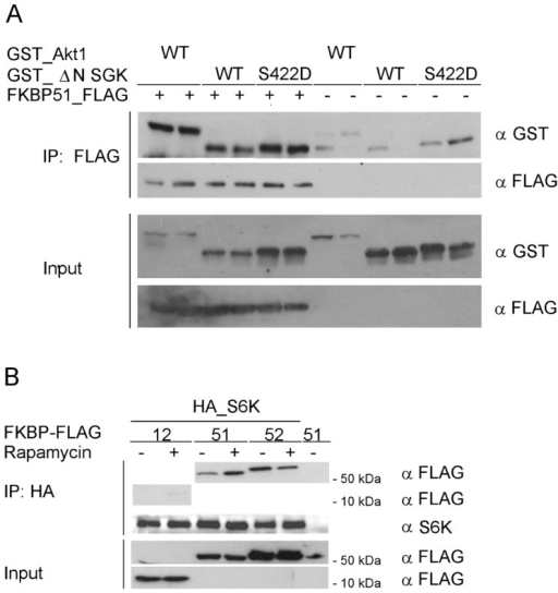 Other AGC kinases can also bind to FKBP51.A HEK293T cells were co-transfected in duplicates with GST-tagged Akt1 or ΔN_SGKS422D and FLAG-tagged FKBP51. After 48 h, the lysates were immunoprecipitated and analyzed in duplicates by Western blotting. B HeLa cells were co-transfected with FLAG-tagged FKBPs and HA-tagged S6K, treated with rapamycin (25 nM) or DMSO for 60 min and lysed. Lysates were immunoprecipitated and analyzed by Western blotting.