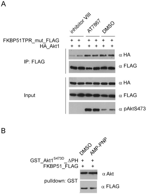 The FKBP51-Akt interaction depends on the conformation of Akt.A HEK293T cells were transfected with FLAG-tagged FKBP51K352A/R356A (TPR_mut) and HA-tagged Akt1. After 2 days cells were treated with 10 µM inhibitor VIII, AT7867 or DMSO for 1 h. Cell lysates and immunoprecipitates were analyzed in duplicates by Western blotting. B GSH beads loaded with purified activated GST_Akt1ΔPH were incubated with FKBP51 with or without AMP-PNP. Eluates were analyzed by Western blotting.