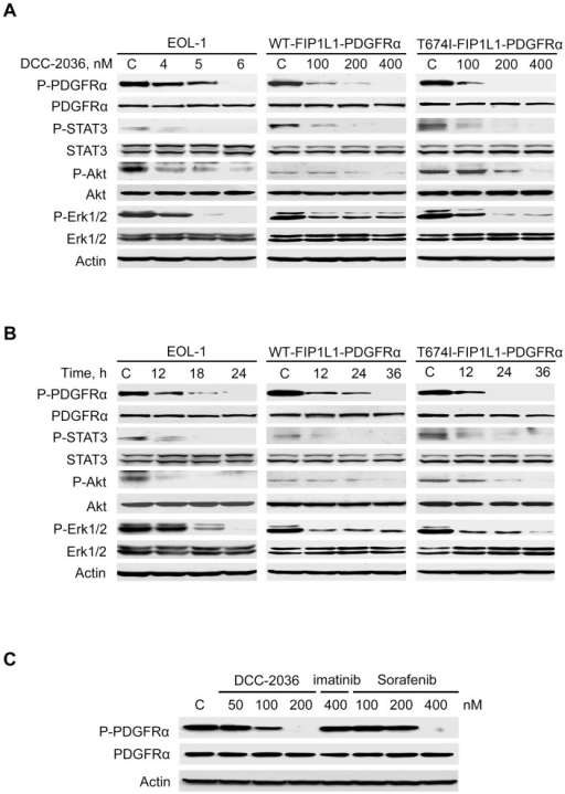 DCC-2036 inhibits the phosphorylated-PDGFRα level and its downstream targets.A, EOL-1 cells and BaF3 cells harboring WT or T674I FIP1L1-PDGFRα were incubated with indicated concentrations of DCC-2036 for 24 h (EOL-1) or 36 h (BaF3-WT and -T674I mutant), the phosphorylated and total levels of PDGFRα, STAT3, Akt and Erk1/2 were analyzed by immunoblotting. B, EOL-1 cells and BaF3 cells expressing WT or T674I FIP1L1-PDGFRα were treated with DCC-2036 for indicated durations with different concentrations (6 nM for EOL-1 cells, 400 nM for BaF3 cells), the phosphorylated and total levels of indicated proteins were analyzed by immunoblotting. C, BaF3-T674I cells were exposed to the indicated concentrations of DCC-2036, imatinib or sorafenib for 36 h, the phosphorylated PDGFRα and total PDGFRα were analyzed by immunoblotting. Imatinib was used for comparison.