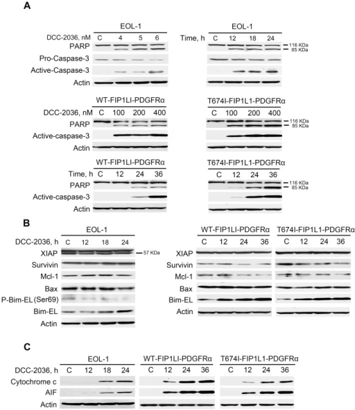DCC-2036 induces apoptosis of FIP1L1-PDGFRα-expressing cells with Western blotting assay.A, immunoblotting of PARP cleavage and caspase-3 activation was shown in EOL-1 cells and BaF3 cells in a concentration- and time-dependent manner. B, Impact of DCC-2036 on apoptosis-related proteins. EOL-1 cells, BaF3-WT and BaF3-T674I cells were exposed to a fixed concentration of DCC-2036 (6 nM for EOL-1 cells, 400 nM for BaF3 cells) for indicated durations and then levels of apoptosis-related proteins were detected by Western blotting. C, the cytosolic AIF and cytochrome c were detected in EOL cells (6 nM) and BaF3 cells (400 nM) in a time- dependent manner by immunoblotting.