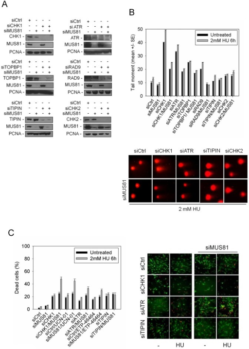 "MUS81 promotes DSB formation and cell viability in response to replication checkpoint down-regulation.(A) Analysis of protein depletion by Western blotting in GM01604 cells after transfection with control siRNAs directed against GFP (siCtrl) or siCHK1, siATR, siTOPBP1, siRAD9, siTIPIN and siCHK2, alone or in combination with siMUS81. Immunoblotting was assessed 48 h after transfection using the appropriate antibodies. PCNA was used as loading control. (B) DSBs accumulation by neutral Comet assay in GM01604 cells transfected as in (A) and treated with 2 mM HU for 6 h before subjecting to Comet assay. Graph shows data presented as mean tail moment +/− SE from three independent experiments. Error bars represent standard errors. Where not depicted, standard errors were <15% of the mean. In the panel representative images from selected samples are shown. (C) Evaluation of cell death after replication stress in GM01604 cells transfected with control siRNAs (siCtrl) or siCHK1, siATR and siTIPIN alone or in combination with siMUS81. Forty-eight hours after RNAi, CHK1 inhibitor (UCN-01), ATR inhibitor (ETP-46464) or solvent (DMSO) was added to media 1 h prior HU treatment. After 6 h of HU, cells were recovered overnight before being analysed. Cell viability was evaluated by LIVE/DEAD assay as described in ""Materials and Methods"". Data are presented as percentage of dead cells and are mean values from three independent experiments. Error bars represent standard error. Where not depicted, standard errors were <15% of the mean. The panel shows representative images: live cells are green stained, while dead cells are red."