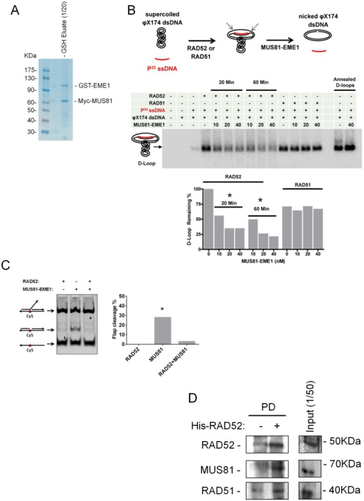 "(A) Immunopurification of the human MUS81/EME1 complex from 293T cells.One-twentieth of human MUS81/EME1 complex immunopurified using anti-Myc-agarose/GSH agarose (see Materials and Methods) was resolved onto an SDS-PAGE gel and revealed by Coomassie blue-stain (CBB). (B) In vitro MUS81/EME1 cleavage of model D-loop substrates. The D-loops were produced by the RAD52-mediated annealing, by the RAD51-mediated strand invasion, or by the heat-mediated annealing as described in ""Materials and Methods"" and schematically depicted over the gel. MUS81/EME1-mediated cleavage results in the loss of superhelicity and, upon deproteination of the products, in the displacement of the radioactively-labeled oligonucleotide from the plasmid. Thus, the D-loop loss is an indicator of MUS81/EME1-dependent D-loop cleavage. The D-loops were separated from the unincorporated and displaced oligonucleotides on the agarose gel. The table above the gel summarizes the constituencies and conditions of each reaction. The band corresponding to the D-loop migration is marked on the side of the gel. The graph under the gel shows the gel quantification. (C) In vitro MUS81/EME1 cleavage of a 3′-flap substrate. The substrate was assembled as described in ""Materials and Methods"" and schematically depicted side the gel. MUS81/EME1-mediated cleavage results in formation of a nicked product, which was separated from the intact substrate and the not-assembled, single-stranded, substrate on the agarose gel. The graph shows the gel quantification. (D) RAD52 pulled-down MUS81 from nuclear extracts. Five µg of purified 6xHis-tagged RAD52 was incubated with 1 mg of benzonase-treated nuclear extract. After incubation with anti-His antibody-coupled magnetic beads, RAD52 protein complexes were released in 1x Laemmli sample buffer, subjected to SDS-PAGE and Western blotting using the indicated antibodies. Data are presented as a mean of replicate experiments, SEs were <10% of the mean. * = p<0.05 Student's t-test."