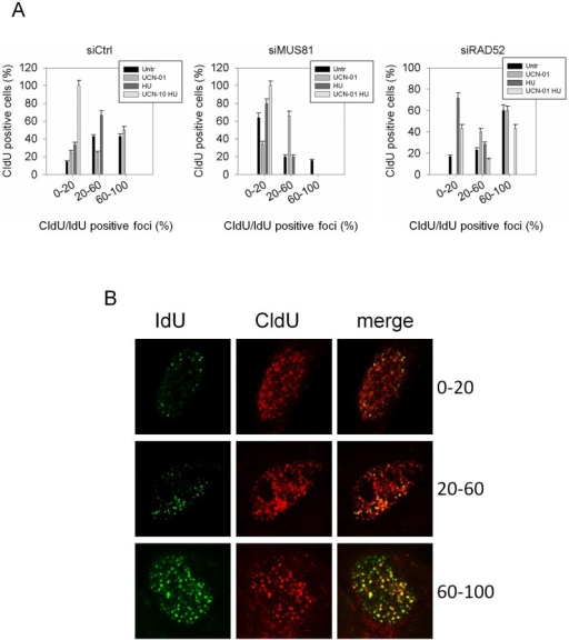 MUS81 and RAD52 differently affect restart of stalled forks upon CHK1 inhibition.(A) GM01604 cells were transfected with siRNAs directed against GFP (siCtrl), MUS81 (siMUS81) or RAD52 (siRAD52). Replication sites were first labeled with CldU (red signal), left untreated or treated as indicated, followed by recovery for 45 min in IdU (green signal). After immunostaining with antibodies specific for CldU and IdU, the overlapping foci were quantified in each isolated red-positive cell and results expressed as the percentage of CldU/IdU colocalising foci (0–20% of total CldU foci; 20–60% of total CldU foci; 60–100% of total CldU foci). Data are presented as percentage of dead cells and are mean of three independent experiments. Error bars represent standard error. The images shown in the panel (B) are representative of labeling and of different classes of colocalising nuclei.