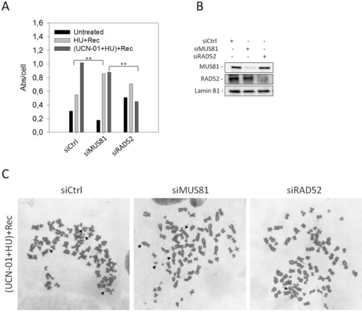 "Effect of MUS81 or RAD52 depletion on chromosomal damage in response to replication checkpoint down-regulation.(A) Western blotting showing MUS81 and RAD52 depletion verified 48 h after interference using the relevant antibodies. Lamin B1 was used as loading control. (B) Aberrations per cell in WI-38 SV40-transformed fibroblasts transfected with control siRNAs (siCtrl), siMUS81 or siRAD52. Cells were treated as described in ""Materials and Methods"". Asterisks indicate that the result is statistically significant compared to the indicated experimental point; (** = P<0.05, Student's t test). (C) Representative Giemsa-stained metaphases from cells transfected with the indicated siRNAs and recovered in drug-free medium after replication checkpoint inhibition. Arrows indicate chromosomal aberrations."