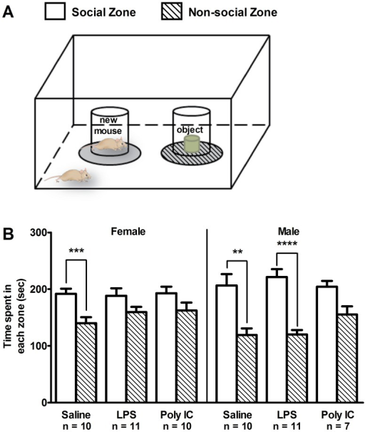 The effects of maternal immune activation on social behavior in the three-chamber social interaction test.(A) diagrammatic depiction of the experimental set-up for the social interaction test. (B) Male and female saline-treated mice showed the expected preference for the social zone (**p<0.01; ***p<0.001; ****p<0.0001). However, compared to saline-treated controls, female LPS and Poly IC offspring showed no significant preference for the social zone over the non-social zone. A loss of the normal social interaction behavior was also observed in male Poly IC mice, but not in male LPS mice compared to control mice. Each column represents mean ± S.E.M.