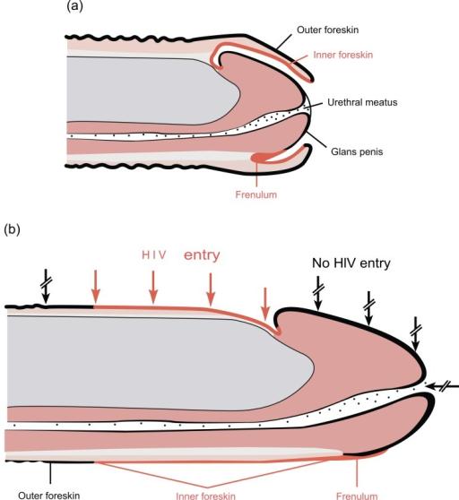 Uncircumcised Penis Size 6