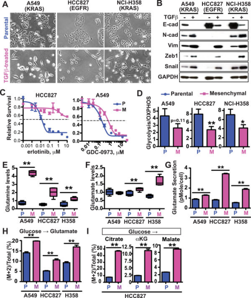 Metabolic changes in three NSCLC cell lines upon TGFβ-induced EMT. A549, HCC827, and NCI-H358 lung cancer cells were cultured in the presence of 2 ng/ml TGFβ for 2 to 5 weeks to induce EMT. The following aspects of both the parental (P) and mesenchymal (M) cells were characterized. (A) Morphological changes of cells. (B) The expression of the epithelial marker (E-cadherin) and mesenchymal markers (N-cadherin, Vimentin, Zeb1, and Snail). (C) Erlotinib sensitivity of HCC827 and GDC-0973 sensitivity of A549 parental and mesenchymal cells. The cells were treated with the EGFR kinase inhibitor erlotinib or MEK inhibitor GDC-0973 for 3 days, and viability was measured using a CellTiter-Glo assay. (D) Glycolysis/OXPHOS ratio, defined by PPR/OCR and measured using the Seahorse metabolic analyzer. Average results from three to four independent experiments are shown. (E, F) Cellular glutamine (E) and glutamate (F) concentrations as measured by mass spectrometry. Each data point is from five separate biological samples generated at the same time. The boxes represent 10–90 percentile. (G) Glutamate secretion per cell during 24 h. Average of data from six wells in one experiment, which is representative of three independent experiments, is shown. (H, I) Cells were incubated with growth media containing 13C-U-glucose overnight, and then subjected to LC-MS analysis. (H) Glucose to glutamate contribution was plotted based on the percentage of (M + 2) glutamate in the total glutamate pool. (I) Glucose to TCA cycle contribution was plotted based on the percentages of (M + 2) citrate, (M + 2) α-ketoglutarate and (M + 2) malate in each individual metabolite's total pool. For all panels, data are plotted as mean ± SEM. *p < 0.05; **p < 0.01, unless otherwise specified.