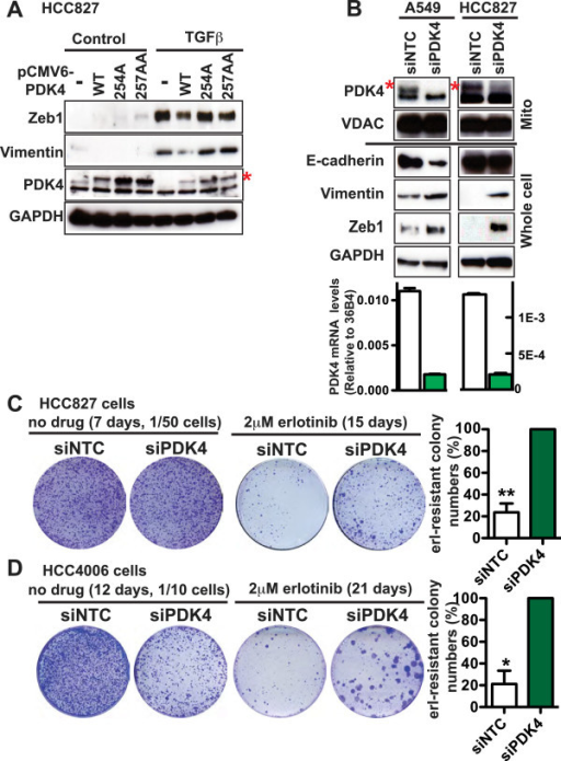 PDK4 inhibition promotes EMT. (A) HCC827 cells were transfected with pCMV6-AC-IRES-GFP vector or pCMV6-PDK4-IRES-GFP (WT, 254A, or 257AA), then cultured in the presence of 1.5 μg/ml puromycin for 3 weeks. After that, the GFP-positive cells were enriched through FACS, cultured in the presence or absence of 2 ng/ml TGFβ for 10 days, and lysed for immunoblotting. (B) A549 and HCC827 cells were transfected with siNTC pool no. 2 or siPDK4 pool at 1 day and 3 days post-seeding. Two days after the second transfection, the cells were lysed for immunoblotting and qRT-PCR. VDAC and GAPDH are protein loading controls for mitochondrial lysate and whole cell lysate, respectively. In A and B, the red asterisk denotes the upper band that is specific for PDK4. (C, D) HCC827 (C) and HCC4006 (D) cells were transfected with siNTC pool no. 2 or siPDK4 pool at 20 nM siRNA at 1 day and 3 days post-seeding. Twenty-four hours after the second transfection, the media was replaced with growth media containing 2 μM erlotinib and cells were continuously cultured in such media with fresh media replenished every 3 to 4 days for 2 to 3 weeks. For the control plates without erlotinib treatment, the day before the second transfection, a fraction of the cells was re-plated at low density and subjected to a second transfection the next day. At the end of the experiment, cells were stained with crystal violet. The quantification of colony numbers represents four independent experiments, and for each experiment, the colony number in the siNTC plate is normalized to that in the siPDK4 plate. Paired t-test was performed for C and D. Data are plotted as mean ± SEM. *p < 0.05; **p < 0.01.
