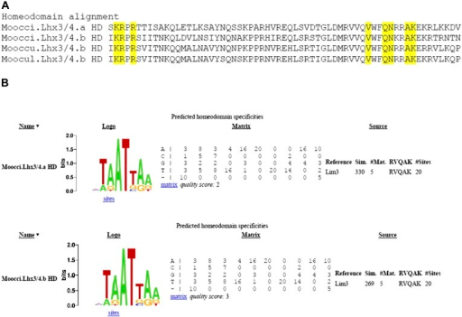 Divergent Molgula Lhx3/4.b homeodomains are not predicted to have altered DNA binding specificities.(A) Alignment of homeodomains (HDs) from a set of Molgula Lhx3/4 family proteins, with HD recognition positions highlighted in yellow. HD recognition positions are invariant while intervening sequence is highly diverged between Lhx3/4.a and Lhx3/4.b. (B) Logos and matrices for predicted homeodmain specificities for Moocci.Lhx3/4.a (top) and Moocci.Lhx3/4.b (bottom), generated by the Homeodomain Specificity Prediction web page (http://stormo.wustl.edu/cgi-bin/flyhd/hd_pred.cgi; Noyes et al., 2008). The two predicted binding specificities are identical to one another, due to perfect conservation of the HD recognition positions.DOI:http://dx.doi.org/10.7554/eLife.03728.020