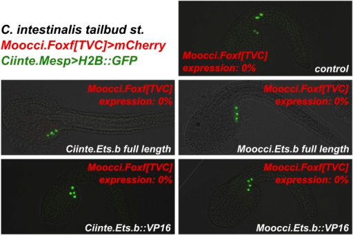 Ets.b proteins are not sufficient to transactivate Moocci.Foxf reporter construct activation in C. intestinalis embryos.C. intestinalis embryos co-electroporated with Ciinte.Mesp>H2B::GFP (green), Moocci.Foxf>mCherry (red), and various Ciinte.Mesp-driven perturbation constructs. Activation of Moocci.Foxf reporter construct was impervious in C. intestinalis TVCs even upon overexpression of Ets.b full-length or VP16 fusions from either C. intestinalis or M. occidentalis. n = 100 for all conditions.DOI:http://dx.doi.org/10.7554/eLife.03728.028