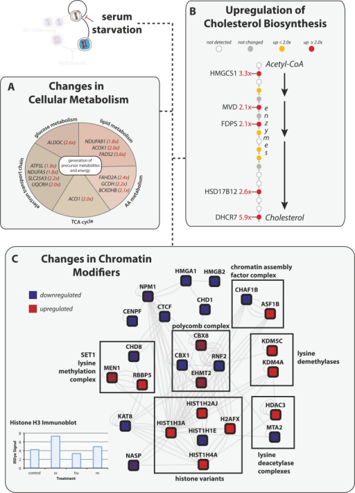 Serum starvation induces changes to cellular metabolism and chromatinremodeling proteins.(A) Proteins involved in generating precursor or secondarymetabolites are shown grouped by metabolic pathway. Fold changes are shown inred in parentheses. (B) The cholesterol biosynthesis pathway isshown schematically (Espenshade and Hughes,2007) with enzymes shown as circles and arrows indicating progressivesteps in the pathway from acetyl-CoA to cholesterol. Fold changes are indicatedby shading and are explicitly provided when greater than twofold.(C) Network analysis of chromatin-associated proteins thatchange in abundance in response to serum starvation. The colour indicates thedirection of the change (red: up, blue: down), and the shading indicates themagnitude.DOI:http://dx.doi.org/10.7554/eLife.04534.004