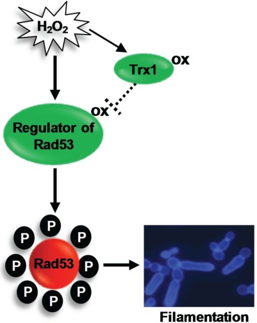 H2O2-induced activation of Rad53 triggers filamentation in C. albicans. The redox sensitive oxidoreductase Trx1 inhibits H2O2-induced activation of the DNA damage checkpoint kinase Rad53. This suggests that a regulator of Rad53 is activated by oxidation, and this active oxidised form is reduced by Trx1. Activation of the DNA damage checkpoint triggers the formation of hyperpolarised buds. See text for details.