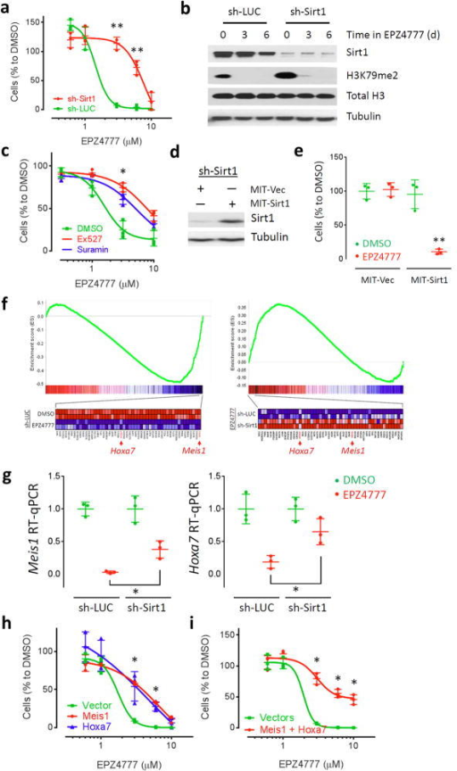 "Sirt1 mediates the response of MLL-AF9 leukemia cells to DOT1L inhibitor EPZ4777. (a,c,h,i) Effect of EPZ4777 on the proliferation of mouse MLL-AF9 leukemia cells transduced with (a) sh-Sirt1 (red) or sh-LUC (green), (h) MSCV-puro-Meis1 (red), Hoxa7 (blue), or empty vector (green), and (i) MSCV-puro-Meis1 plus MSCV-ires-Tomato-Hoxa7 (red) or dual empty vectors (green), as well as (c) co-treated with Ex527 (red), suramin (blue) or DMSO (green). (b,d) Immunoblot of (b) Sirt1, H3K79me2, histone H3 and tubulin in MLL-AF9 leukemic cells transduced with sh-LUC or sh-Sirt1 and cultured in EPZ4777, and (d) Sirt1 and tubulin in sh-Sirt1 transduced MLL-AF9 cells further infected with MSCV-ires-Tomato empty vector (MIT-Vec) or Sirt1 (MIT-Sirt1) virus. (e) Relative number of the cells described in (d) cultured in EPZ4777 (red) or DMSO (green). (f) Microarray and GSEA analyses showing changes in expression of ""EPZ4777_down gene set"" (978 genes; Supplementary Table 3) in sh-LUC transduced MLL-AF9 cells cultured in EPZ4777 versus DMSO (left panel), as well as sh-Sirt1 versus sh-LUC transduced MLL-AF9 cells cultured in EPZ4777 (right panel). Heatmaps showing genes comprising the early leading edge (top 50 genes) of the GSEA plots. (g) RT-qPCR of Hoxa7 and Meis1 in sh-LUC or sh-Sirt1 transduced MLL-AF9 leukemic cells cultured in EPZ4777 (red) or DMSO (green). Cells were cultured in the presence of EPZ4777 or DMSO for (f,g) 6 days and (a,c,e,h,i) 9 days, respectively. Data represent the observed values and mean ± s.d. of (a,c,e,h,i) three replicates, and (g) three independent experiments. *P < 0.05; **P < 0.01 to control group using Student's t-test."