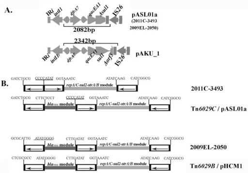Molecular signatures created by the insertion of IS26.A: The 3´-CS of class 1 integrons in pASL01a and pAKU_1 has been structurally modified by different IS26-mediated deletion events such that PCR with L1 and JL-D2 primers is expected to generate 2082 and 2342 bp long amplicons respectively. B: Eight base pair signature sequences created by the insertion of IS26 found flanking the inverted repeats of IS26 elements clearly suggest that the CRL in strain 2011EC-3493 is a derivative of Tn6029C while 2009–2050 is a derivative of Tn6029B described previously in pHCM1. The eight base repeat on the left end of Tn6029B and that in 2009EL-2050 are different because in pHCM1 (Tn6029B) there is a deletion of the class 1 integron whereas in 2009EL-2050 the fragment adjacent to the left hand end of the insertion site is inverted by IS26-mediated events. These signatures are also consistent with the proposition that Tn6029C evolved from Tn6029B.