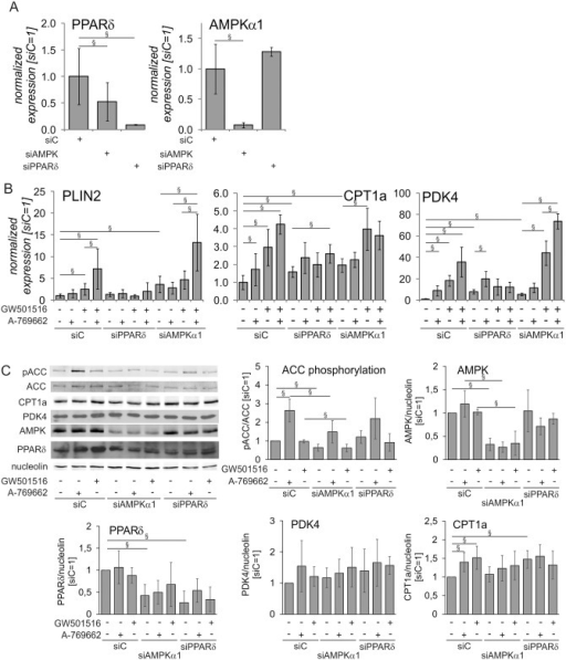 AMPK increased the expression of PPARδ target genes through PPARδ.Primary macrophages were transfected with 50 nM siControl (siC), AMPKα1 or PPARδ siRNA for 72 hours and treated with 250 μM A-769662 or 100 nM GW501516 for additional 24 hours. A mRNA expression of PPARδ and AMPKα1. B mRNA expression of PDK4, CPT1a, and PLIN2 in macrophages treated as indicated above. C Protein expression of phospho-ACC, ACC, PDK4, CPT1a, PPARδ, and AMPKα1 in macrophages treated as indicated above. Values represent averages ± 95% Confidence Interval. §, p<0.05 (n = 5–8).