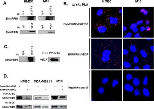 EMMPRIN/CD147 interacts with VEGFR-2 and VEGF in endothelial and tumor cells(A) VEGFR-2 and VEGF from HMEC and M10 cell lysates were immunoprecipitated (IP) with anti-VEGFR-2 and anti-VEGF antibody respectively; western blotting was performed using anti-EMMPRIN antibody. Non immune IgG was used as controls. Representative blots of three independent experiments are shown. (B)In situ Proximity ligation assay (PLA) detection of EMMPRIN-VEGFR-2 and EMMPRIN-VEGF heterodimers (red dots). Negative controls without primary antibody are also shown. Nuclei were stained with DAPI (blue), magnification x 63. Representative images of three independent experiments are shown. (C) Direct interaction between the recombinant EMMPRIN and the recombinant VEGFR-2 in vitro. VEGFR-2 was first incubated with protein G beads prior to the addition of the recombinant EMMPRIN. Bound proteins were subsequently analyzed by Western blotting. Non-immune IgG served as a negative control and interaction between VEGF and VEGFR-2 served as a positive control. (D) Cells (HMEC, MDA-MB-231 and M10) were transfected for 24 hours with EMMPRIN siRNA or scrambled control siRNA at 33nmol/L concentration, and then subjected to IP assays using antibodies against VEGFR-2 and VEGF. Western blotting was performed using anti-EMMPRIN antibody. Representative blots of three independent experiments are shown.