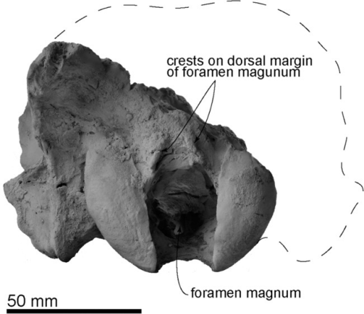The holotype cranium of Archaeodobenus akamatsui in posterior view.