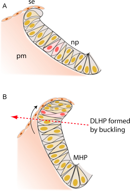 A model of DLHP bending during neural fold elevation. Diagrammatic transverse sections of flat (A) and elevated (B) half-neural plate (np), juxtaposed surface ectoderm (se) and paraxial mesoderm (pm). As the neural fold elevates, neuroepithelial cells translocate ventro-dorsally (curved arrow in B) so that increasing numbers contact the surface ectoderm in the elevated neural fold. This results in increased cell density and diminished cell width within the dorsal neural fold region. Two cells originating ventrally (pink) are depicted translocating dorsally, as was observed in the DiI vital cell labelling study. Cells at the midline (MHP) exhibit basal nuclear localisation, whereas elsewhere in the neuroepithelium nuclei are observed at all apico-basal positions. DLHP formation is suggested to result from physical 'buckling' of the neural plate (red arrow) at the junction between the dorsal region of increased cell density and ventral region of lower cell density.