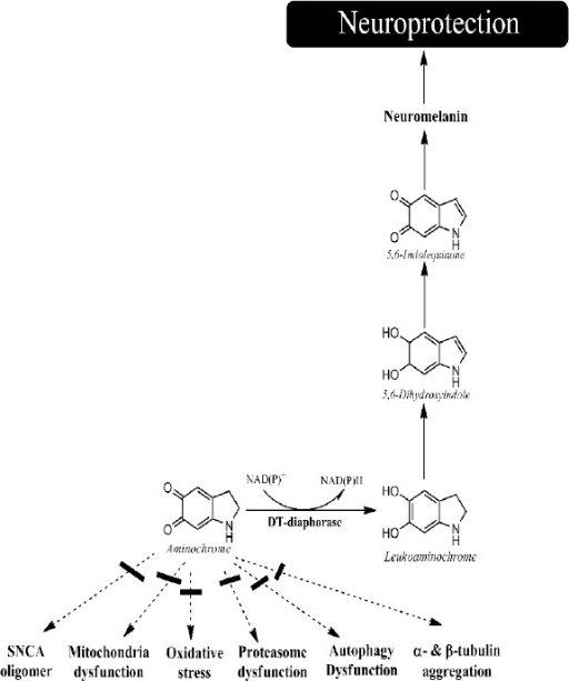 DT-diaphorase protects against aminochrome neurotoxicity.DT-diaphorase catalyzes the two-electron reduction of aminochrome to leukoaminochrome, preventing the neurotoxic actions of aminochrome, such as (i) formation of adducts with α-synuclein (SNCA); (ii) formation of adducts with complex I of mitochondria and subsequent mitochondrial dysfunction; (iii) one-electron reduction to leukoaminochrome o-semiquinone radical and subsequent oxidative stress; (iv) inhibition of degradation of proteins as a consequence of proteasome inactivation; (v) inhibition of degradation of proteins and organelles with autophagy; and (vi) formation of adducts with α- and β-tubulin and subsequent aggregation. Leukoaminochrome can tautomerize to 5,6-dihydroxyindole, which can oxidize to 5,6-indolequinone which is the precursor of neuromelanin.