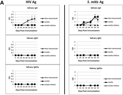 Recombinant S. mitis induces mucosal and systemic antibody responses.Germ-free Balb/c mice were inoculated orally with 109 cfu rS. mitis expressing HIV Env gp120 (Smitis HIV Env), rS. mitis containing an integrated Ermr gene without Env gp120 (Smitis), or PBS (Non-Immunized). Following immunization, the presence of IgA, IgG1, and IgG2a antibodies specific to the HIV Env gp120 protein (HIV Ag) or S. mitis lysate antigens (S. mitis Ag) was measured by ELISA in the saliva (A) and serum (B) of mice. The mean optical density (OD) (±SEM) values of the undiluted samples from 3 mice/group at various timepoints post-immunization are shown. The saliva and serum antibody dilution factor was 1:3 or indicated otherwise.