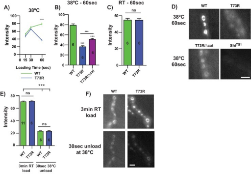 dTPIT73R impairs NMJ synaptic vesicle dynamics.(A) An FM1-43 timecourse at the NMJ with loading times of 15, 30, and 60 sec., (B) with quantification of 60 sec. at 38°C, and (C) 60 sec. at room temperature (RT). (D) Representative images of dTPIWT, dTPIT73R, dTPIT73R/Δcat and Shits1, n = 6. (E) FM1-43 unloading is unchanged between dTPIWT and dTPIT73R at 38°C with animal replicates indicated, and (F) representative images. Comparisons were made with a One-way ANOVA using Tukey's post hoc test, ***p<0.001. Scale bars = 5μm.