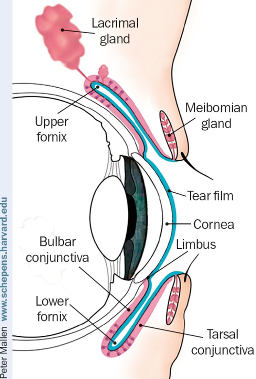 Anatomy of the upper eyelid and anterior segment of the | Open-i