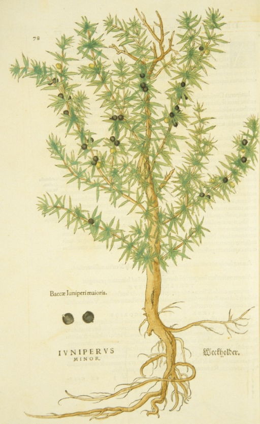 <p>Hand-colored woodcut of the juniper, with a seprate, labeled woodcut of the berries.</p>