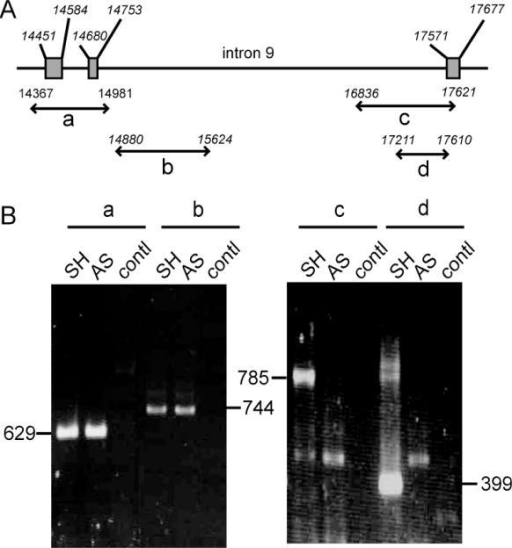 Identification of a deletion spanning the intron9/exon 10 junction of SK-N-AS p53 gene. (A) Schematic representation of p53 gene from intron 7 to intron 10 with the position of amplified fragments; (B) PCR fragments amplified from SH-SY5Y (SH) and SK-N-AS (AS) DNA with the primer pairs a, b, c and d. The primer sequences are given in Table 1; contl: PCR performed in parallel without DNA.