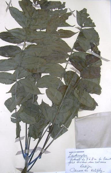 Authentic voucher specimen of Zanthoxylum tsihanimposa leaves, kept at the Botany Department of the National Park, which used for plant identification (Photo: Harison Rabarison)