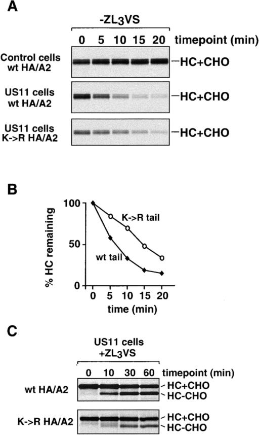 Ubiquitination of the heavy chain cytoplasmic tail is not required for its dislocation from the ER. The stability of HA-tagged MHC class I allele A2 (HA/A2), with either a wt cytoplasmic tail (wt) or with a mutant cytoplasmic tail (K→R), was analyzed in US11 and control cells. Astrocytoma cells stably expressing the HA/A2 constructs were pulse-labeled and chased in the absence (A) or in the presence (C) of ZL3VS, and NP-40 lysates were made as described for Fig. 1 A. HA-tagged heavy chains were immunoprecipitated specifically using monoclonal antibody 12CA5. (B) The data in A were quantitated by PhosphorImager.