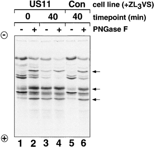 IEF demonstrates that deglycosylated heavy chains accumulate in permeabilized US11 cells. Samples from the experiment shown in Fig. 1 D were treated or mock-treated with PNGase F as indicated, and analyzed by one-dimensional IEF as described (Ploegh 1995). Arrows point to bands corresponding to deglycosylated MHC class I heavy chains. The different HLA gene products migrate with disparate, though characteristic, isoelectric points.