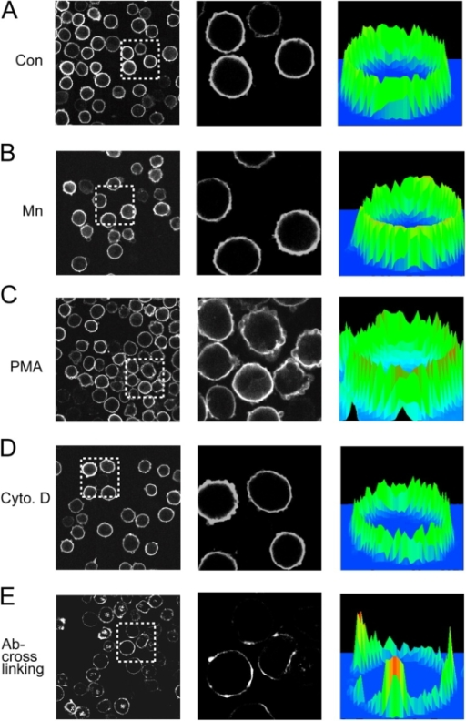 Disruption of cytoskeletal constraints does not alter LFA-1 macroclustering. (A–D) K562 cells expressing wild-type αLβ2 were incubated in (A) L15 medium (control); (B) 1 mM Mn2+; (C) 1 μM PMA; or (D) 1 μM cytochalasin D for 30 min at 37°C. After fixation, cells were stained with Cy3-conjugated TS2/4 mAb. (E) Cells were incubated with Cy3-TS2/4 mAb (10 μg/ml) together with purified anti–mouse IgG (10 μg/ml) at 37°C for 30 min followed by fixation. All cells (A–E) were then plated on coverslips and subjected to confocal microscopy. Center panels depict a threefold magnification of the boxed regions shown in the left panels. Three-dimensional histograms of fluorescence intensity and cell surface distribution are shown in the right panels.