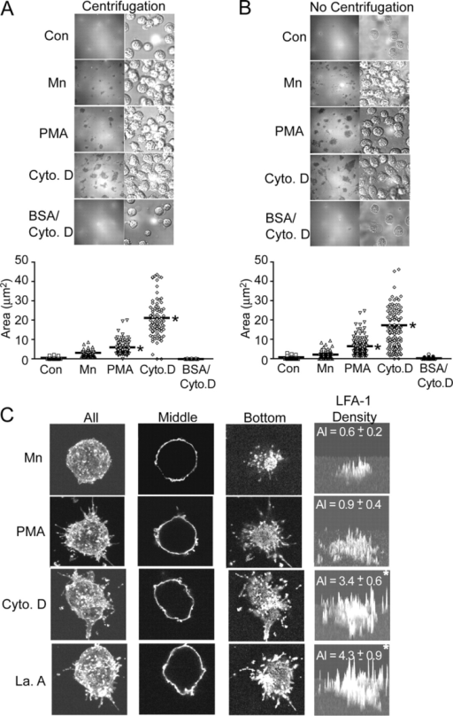 "Cytoskeleton disruption leads to accumulation of LFA-1 to the zone of ICAM-1 substrate contact. (A and B) Stable K562 cell transfectants expressing wild-type αLβ2 were allowed to adhere, with (A) and without (B) initial centrifugation, to coverslips coated with ICAM-1 or BSA in the absence (Control) or presence of 1 mM Mn2+, 1 μM PMA, or 1 μM cytochalasin D as indicated for 30 min at 37°C. Cells were then fixed and subjected to IRM (top left panels) and DIC (top right panels). The zone including all IRM contacts for each cell was outlined and the area calculated by OpenLab software (bottom panels). Each symbol represents one cell. Bar = mean. *, P < 0.01 vs. Mn2+-treated cells. (C) Cells were prepared as in A and then were additionally subjected to staining with mAbs CBR LFA-1/7-Cy3 to β2 and TS2/4-Cy3 to αL followed by anti–mouse IgG-Cy3 to maximize the fluorescent signal. Samples were then analyzed by serial sectioning (0.5 μm Z-step) confocal microscopy. Images represent either the top view of the three-dimensional image reconstruction for ""All"" of the sections, or individual sections taken from the ""Middle"" or ""Bottom"" (at the ICAM-1 substrate contact interface) planes. Fluorescence intensity of LFA-1 staining in the ""Bottom"" section was plotted in the three-dimensional histogram of ""LFA-1 density"". The LFA-1 accumulation index (AI) was calculated as (total number of pixels in the contact area × mean intensity of those pixels)/(106). AI = mean ± SEM for nine cells. *, P < 0.01 vs. Mn2+-treated cells."